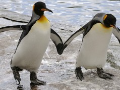 gay penguins