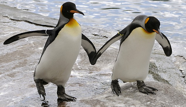 Can Animals Be Gay Yes This Gay Penguins Couple Gets -9402