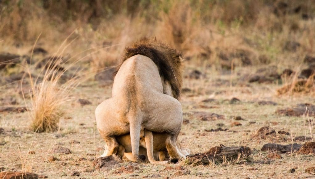 Lions Mating On Field